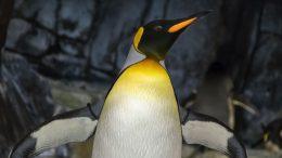 penguin extending its wings