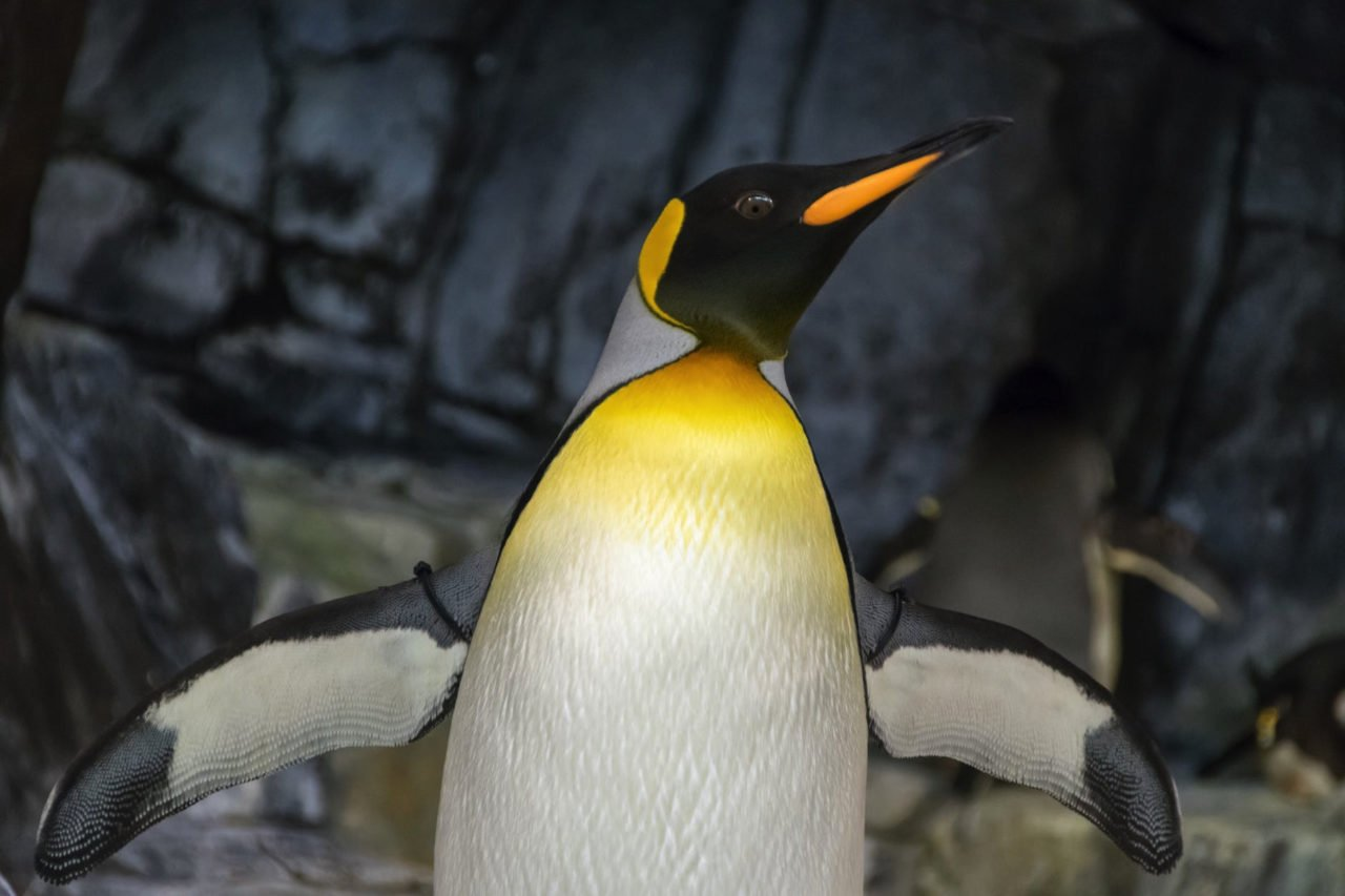 penguin extending its wings