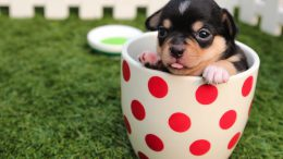 puppy in teacup with red dots
