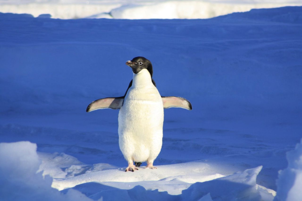 penguin flapping its wings in the snow